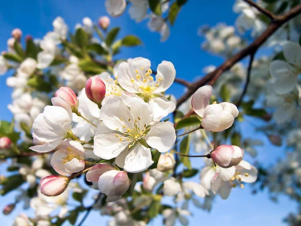 Dermatite seborroica e fiori di Bach con Crap Apple